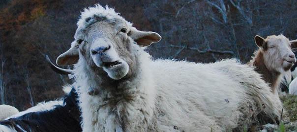Numaratul oilor